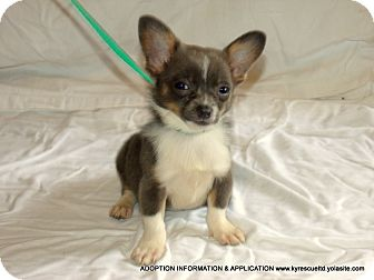 Pekingese/Chihuahua Mix Puppy for adoption in Waterbury, Connecticut - Zip/ADOPTED