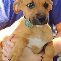 Adopt A Pet :: Drixi - Joplin, MO