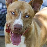 Adopt A Pet :: Bobby - Camden, DE
