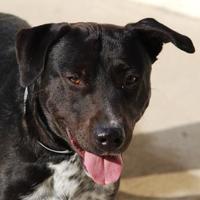 Adopt A Pet :: Kush - Toccoa, GA