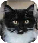 Domestic Mediumhair Kitten for adoption in Spruce Pine, North Carolina - Gizmo