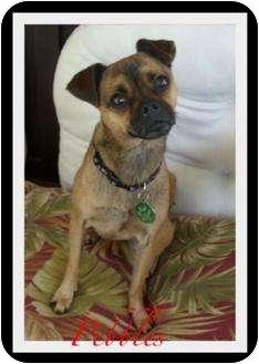 Pug/Boston Terrier Mix Dog for adoption in Escondido, California - Pebbles