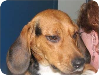 Beagle Dog for adoption in Freeport, Maine - Lollie - In Maine