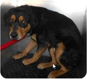 Rottweiler Mix Dog for adoption in Yuba City, California - Marcus