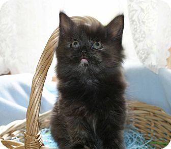 Domestic Longhair Kitten for adoption in Berlin, Connecticut - Koko-PENDING