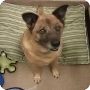 Australian Shepherd Mix Dog for adoption in Gilbert, Arizona - Paisley