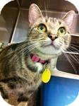 Domestic Shorthair Cat for adoption in Pittstown, New Jersey - Siesta