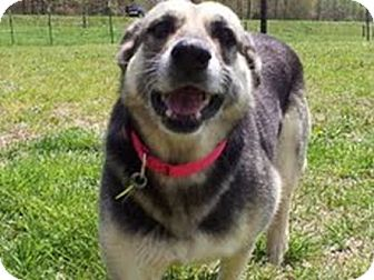 German Shepherd Dog Mix Dog for adoption in Knoxville, Tennessee - Star