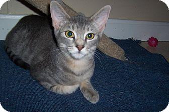 Domestic Shorthair Kitten for adoption in Pueblo West, Colorado - Simon