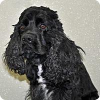Adopt A Pet :: Cole - Port Washington, NY