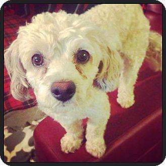 Poodle (Miniature) Mix Puppy for adoption in Seattle, Washington - Cupcake