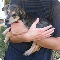 Adopt A Pet :: Rowdy - Cathedral City, CA