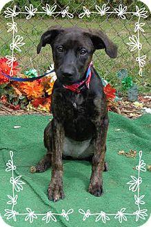 Labrador Retriever Mix Puppy for adoption in Marietta, Georgia - BEBE