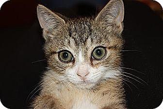 Domestic Shorthair Kitten for adoption in Little Falls, New Jersey - Vander (LE)