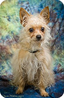 Yorkie, Yorkshire Terrier/Chihuahua Mix Dog for adoption in Anna, Illinois - STORMY
