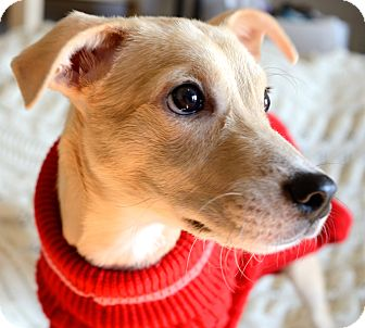 Whippet/Terrier (Unknown Type, Small) Mix Puppy for adoption in Madison, New Jersey - Magical Mimi