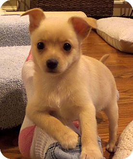 Chihuahua/Pomeranian Mix Puppy for adoption in Chattanooga, Tennessee - Ginger
