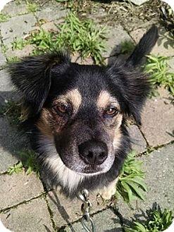 Sheltie, Shetland Sheepdog Mix Dog for adoption in McDonald, Ohio - Dooker