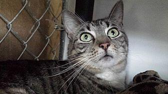 Domestic Shorthair Cat for adoption in Greenville, North Carolina - Ficklin