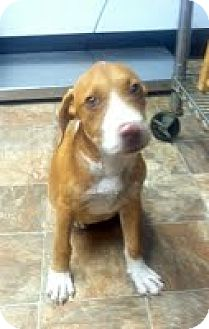 American Pit Bull Terrier Mix Puppy for adoption in Darlington, South Carolina - Nayla