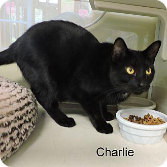 Domestic Shorthair Cat for adoption in Slidell, Louisiana - Charlie