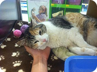 Calico Cat for adoption in Byron Center, Michigan - Amy