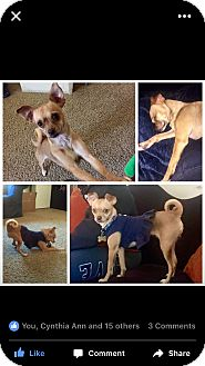 Pug/Chihuahua Mix Dog for adoption in Los Angeles, California - Daphne Twinkles