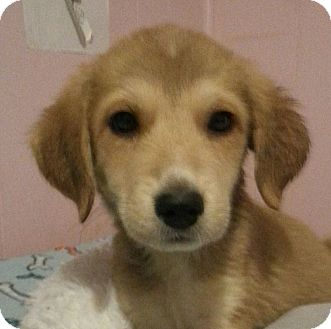 Golden Retriever/Great Pyrenees Mix Puppy for adoption in Pompton Lakes, New Jersey - Jean Grey