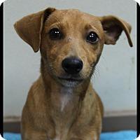 Adopt A Pet :: Tater - Rockwall, TX
