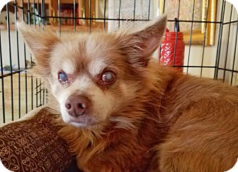 Pomeranian Mix Dog for adoption in Kingston, Tennessee - Coyo