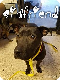 Pit Bull Terrier Mix Dog for adoption in Garden City, Michigan - Girlfriend