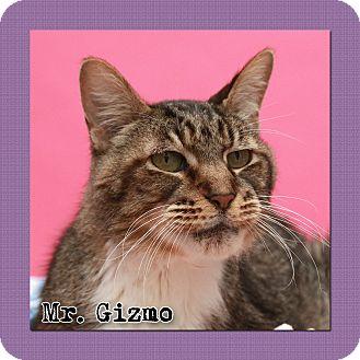 American Shorthair Cat for adoption in Aiken, South Carolina - Mr. Gizmo