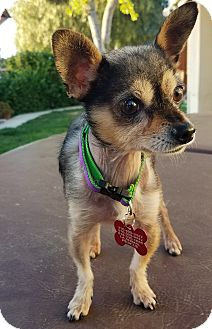 Xoloitzcuintle/Mexican Hairless/Chihuahua Mix Dog for adoption in Los Angeles, California - Gizmo 4 lbs.