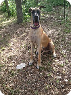 Great Dane Dog for adoption in Austin, Texas - Crockett