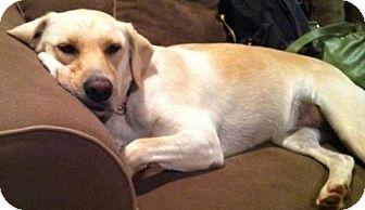 Labrador Retriever/Golden Retriever Mix Dog for adoption in Charlotte, North Carolina - Callie