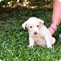 Adopt A Pet :: Ike - South Dennis, MA