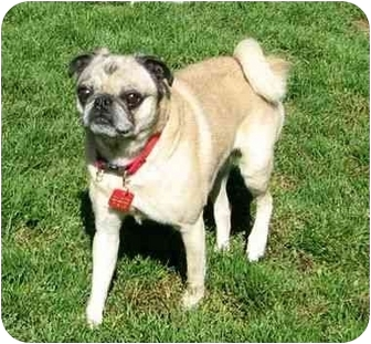 Pug Dog for adoption in Ile-Perrot, Quebec - Moufassa