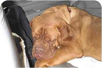 Dogue de Bordeaux Dog for adoption in Rigaud, Quebec - Boswell