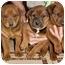 Photo 1 - Doberman Pinscher/Corgi Mix Puppy for adoption in Marina del Rey, California - Puppies