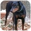Photo 3 - Doberman Pinscher Puppy for adoption in Arlington, Virginia - Dana