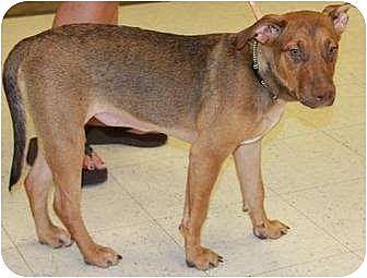 Rhodesian Ridgeback/Vizsla Mix Dog for adoption in Gilbert, Arizona - Tater