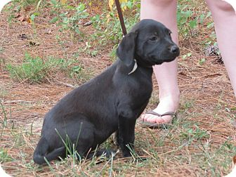 Labrador Retriever/Basset Hound Mix Puppy for adoption in berwick, Maine - Mason