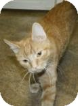 Domestic Shorthair Cat for adoption in West Des Moines, Iowa - Sundae