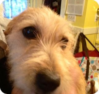 Norfolk Terrier/Terrier (Unknown Type, Small) Mix Dog for adoption in ST LOUIS, Missouri - Honeybear