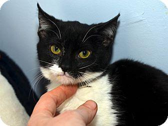 American Shorthair Kitten for adoption in Brooklyn, New York - Jingle Belle