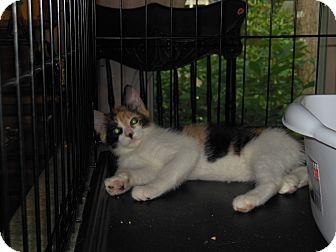 Calico Kitten for adoption in CARVER, Massachusetts - Cleo