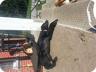 Black and Tan Coonhound/Labrador Retriever Mix Dog for adoption in Treton, Ontario - nellie