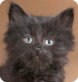 Domestic Mediumhair Kitten for adoption in Chicago, Illinois - Kaffir