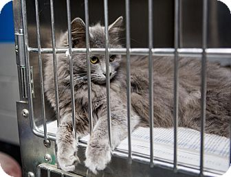 Domestic Longhair Kitten for adoption in MARION, Virginia - Gray Persian mix