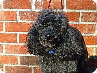 Poodle (Toy or Tea Cup) Mix Dog for adoption in Bellingham, Washington - Brandon